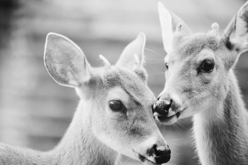 grayscale photography of two reindeers