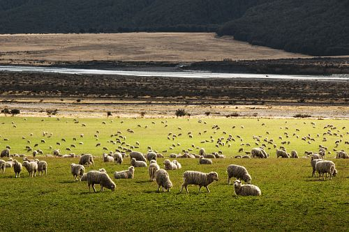 photo herd of sheep on grass field free for commercial use images