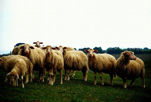photo herd of sheep on grassfield free for commercial use images