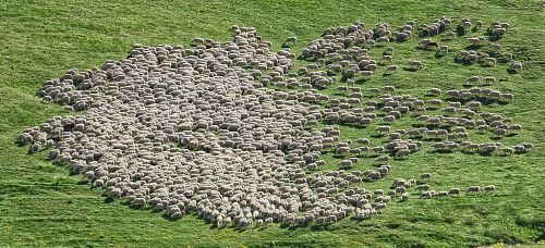 herd of sheep running on green grass field