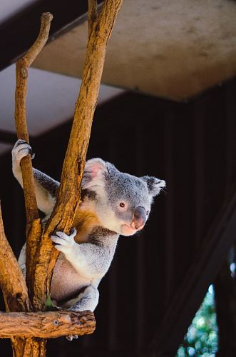koala hanging on branch