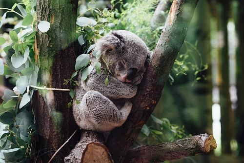 photo koala sleeping on tree branch free for commercial use images