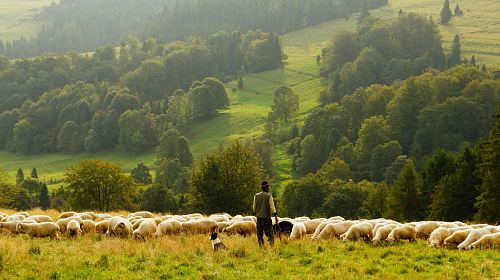 photo man standing in front of group of lamb free for commercial use images