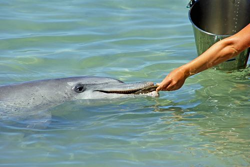 photo person feeding gray dolphin free for commercial use images