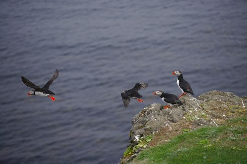 free for commercial use photo of puffin on grey cliff images
