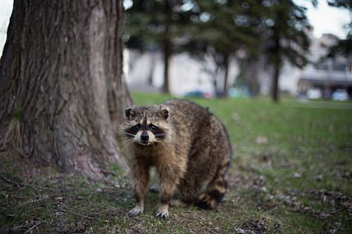 raccoon under the tree