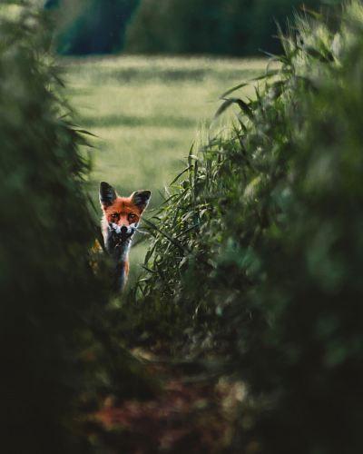 red fox on grass field