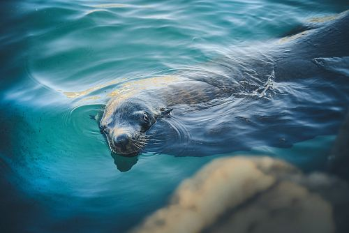 photo sealion swimming in water free for commercial use images