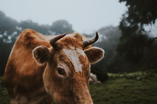 selective focus photo of brown cattle