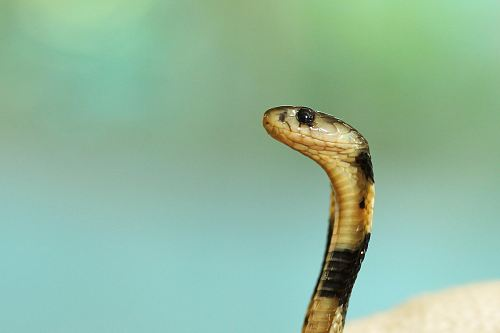 selective focus photography of black and white cobra