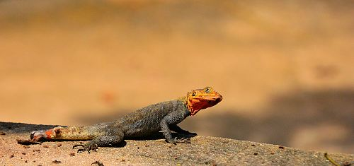 selective focus photography of gray and red lizard