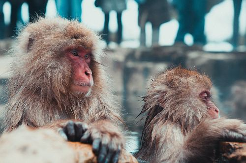 photo selective focus photography of two brown monkies free for commercial use images
