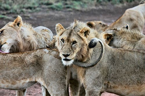 photo shallow focus photography of herd of lions free for commercial use images