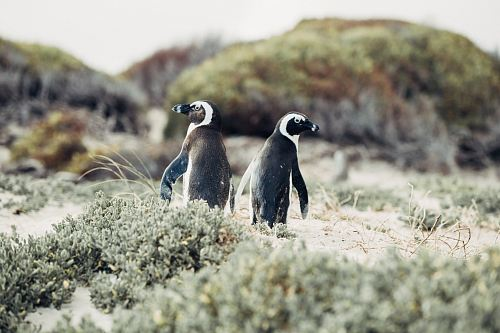 photo shallow focus photography of penguins surrounded by grass free for commercial use images