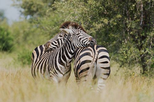shallow focus photography of two zebra cuddling at the wildlife
