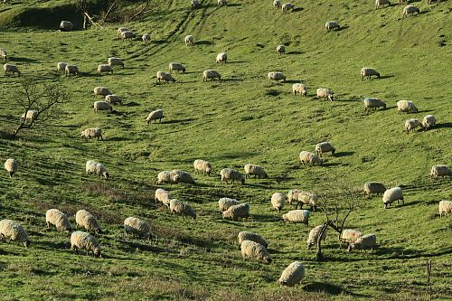 photo sheeps scattered on green grass field free for commercial use images