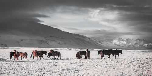 team of horses on white snow field under grey sky