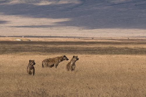 photo three hyenas on brown field under blue sky free for commercial use images