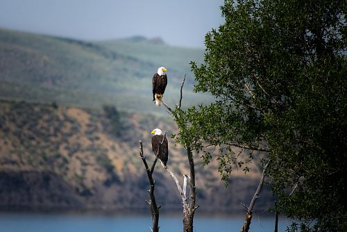 photo two Bald Eagles perched on gray bare tree branch during daytime free for commercial use images
