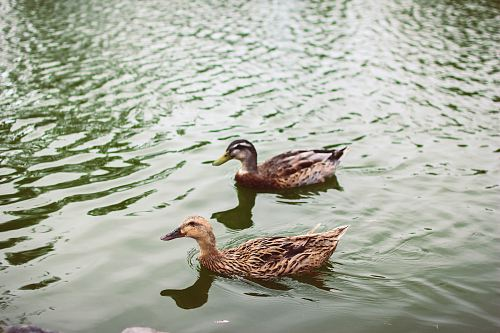 two brown ducks floating on water