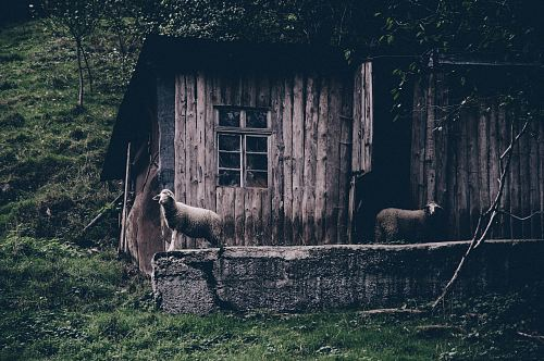 photo two sheep on brown wooden parquet house free for commercial use images