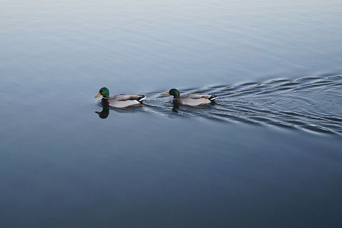 photo two swimming mallard ducks on still body of water free for commercial use images