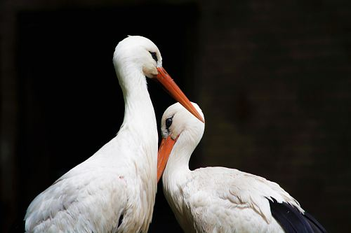 photo two white storks free for commercial use images