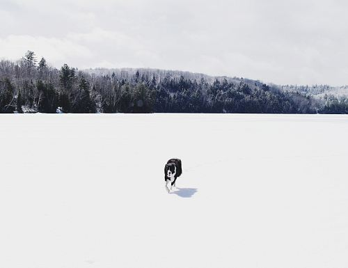 photo white and black dog walking on white snow field during daytime free for commercial use images