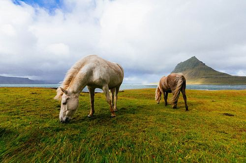 photo white and brown horses near body of water during daytime free for commercial use images