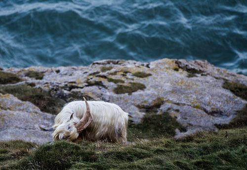 photo white goat near body of water at daytime free for commercial use images