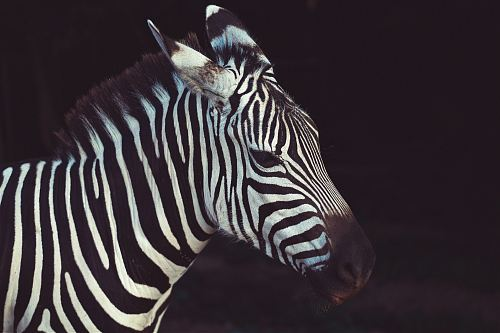 zebra in shallow focus lens