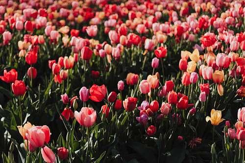 flower red tulip flower field tulip