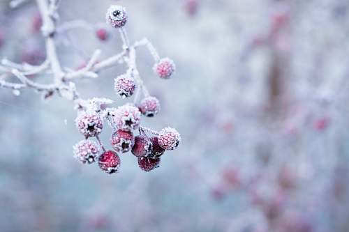 winter selective focus photo of frozen round red fruits frost