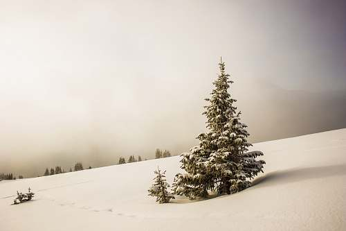 photo winter pine tree surrounded by snowfield snow free for commercial use images