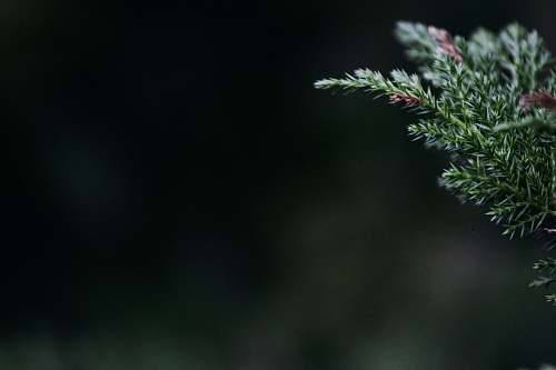 christmas selective focus photography of green pine tree leaf christmas wallpapers