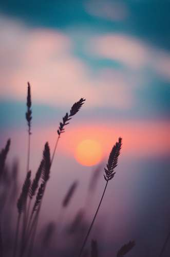 grass silhouette of wheat during sunset flora