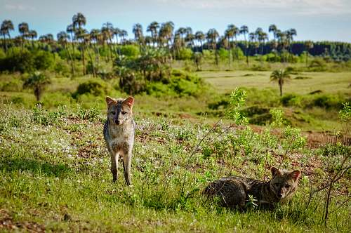 canine wildlife photography of brown coyote coyote