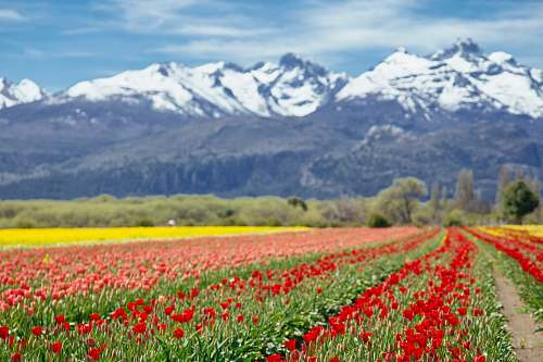 nature landscape photography of white and black mountain range behind bed of red and pink-petaled flowers field