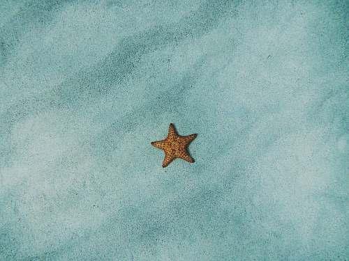 animal brown starfish on blue sand starfish