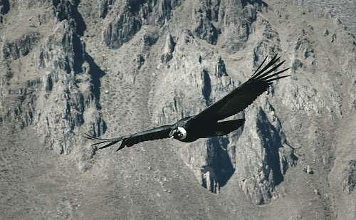 condor black bird flying over gray mountain vulture
