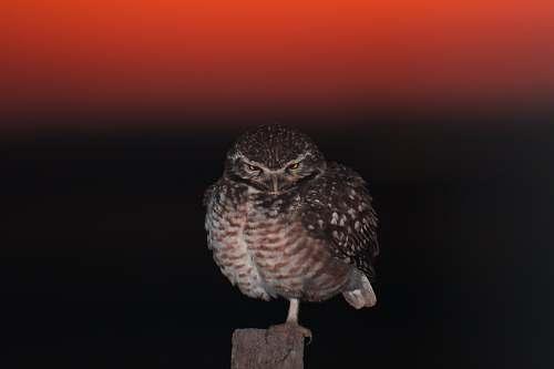 animal brown owl argentina