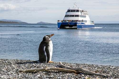 ferry photo of penguin at seashore transportation