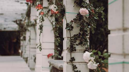 plant white petaled roses on white concrete pillar ivy