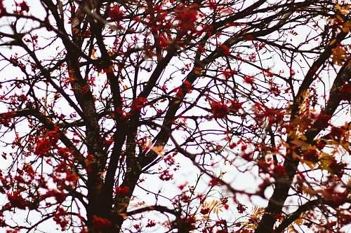 tree red leaves on maple tree leaf