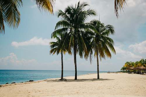 photo beach three coconut trees on brown sand near body of water during daytime sea free for commercial use images