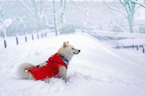 outdoors dog in red Elmo shirt stands on snowfield nature
