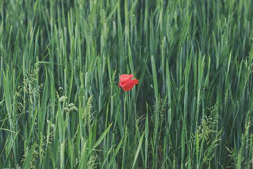 grey red petaled flower on grass field red