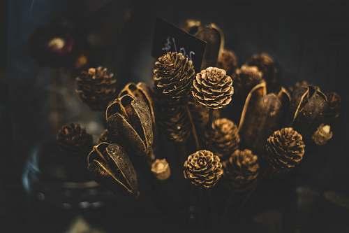 acorn macro photo of pinecone plant old