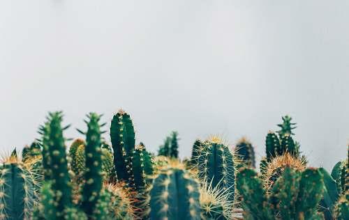 nature green cacti cactus
