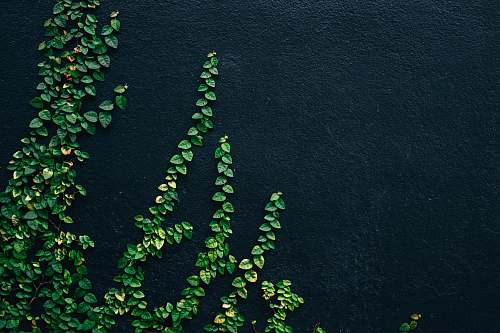green green leaf vines on black painted wall flora